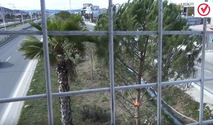 VIDEO/ Pishat zëvendësojnë palmat në autostradë, fati i tyre si i palmave?